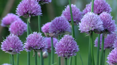 chive blossom - stock footage