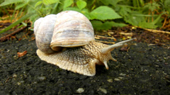Very closeup view to quickly running snail with gray shell on gray wet asphalt Stock Footage