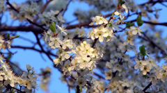A sunlit cherry white blossom with yellow stamens and new tiny green leaves - stock footage