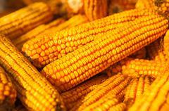 Yellow corn ears still life background Stock Photos