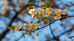 A sunlit cherry white blossom with yellow stamens and new tiny green leaves Stock Footage