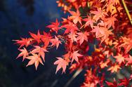 Stock Photo of maple tree