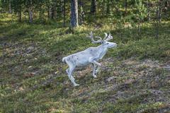 Reindeer stag with exceptionally long antlers Stock Photos