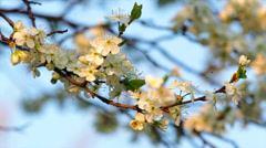 Sunlit cherry white blossom with yellow stamens and new tiny green leaves Stock Footage