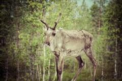 reindeer stag with exceptionally long antlers - stock photo