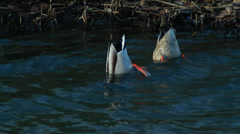 Diving Ducks Couple Looking for Food - 29,97FPS NTSC Stock Footage