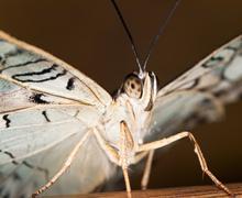 Owl butterfly - Caligo Memnon Stock Photos