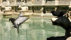 Pigeon Fights over Drink at Fonte Gaia in Siena Italy - 29,97FPS NTSC Stock Footage