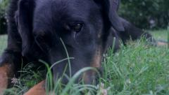 Beauceron (dog) in the grass Stock Footage