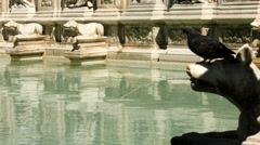 Pigeons Drinks from the Fonte Gaia in Siena - 29,97FPS NTSC Stock Footage