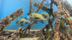 Sweetlips and other tropical fish swim around manmade underwater wreckage Stock Footage