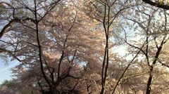 Cherry Blossoms of Washington, DC Stock Footage