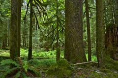 Mossy forest in washington state, usa. washington rainforest landscape. natur Stock Photos