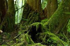 mossy forest details - pacific northwest rainforest habitat. mossy rainy fore - stock photo