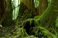 Stock Photo of mossy forest details - pacific northwest rainforest habitat. mossy rainy fore