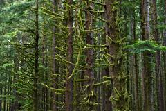 Stock Photo of forest - mossy american pacific northwest forest. nature photo collection.