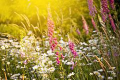 Summer meadow in pacific northwest - olympic national park meadow / wildflowe Stock Photos