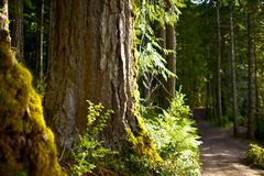 Forest road - large cedar tree. washington state national forest. nature phot Stock Photos