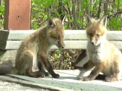 Red Fox Kits (vulpes) playing Stock Footage