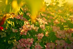 blossom tree. small pinky flowers on the tree. summer theme. nature photograp - stock photo