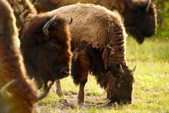 yellowstone american bison - yellowstone national park wildlife. wild animals - stock photo