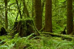 Stock Photo of rainforest theme - washington pacific northwest rainforest. nature photograph