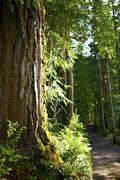 Forest road with red cedar - olympic national forest primitive road, vertical Stock Photos