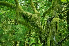 Mossy tree in olympic national park rainforest. washington state photo collec Stock Photos