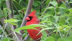 Red cardinal bird in green leaf tree Stock Footage