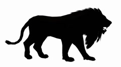 Lion walk,Endangered wild animal wildlife walking sketch silhouette. Stock Footage