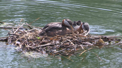 Red necked grebe with newly hatched babies in Toronto Stock Footage