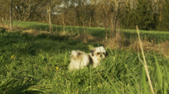 Cute little dog in long grass Stock Footage