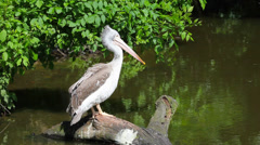 White pelican sitting on a tree Stock Footage