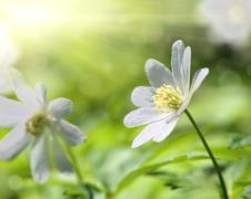 Valkoinen anemone kukka makro Kuvituskuvat