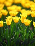field of yellow tulips blooming - stock photo