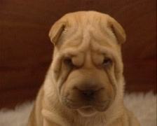 Shar Pei pup whelping box - close up wrinkled face Stock Footage