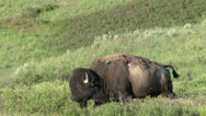 Stock Video Footage of Bison, Buffalo, American Buffalo, Western, 4K, UHD