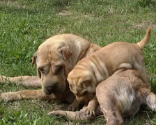 Wrinkled Shar Pei bitch and pup playing on lawn - stock footage