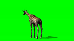 Giraffe looks around - green screen - stock footage