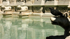 Pigeons Drinks from the Fonte Gaia in Siena - 25FPS PAL Stock Footage
