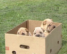 Shar Pei pups in cardboard box Stock Footage