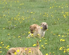 Wrinkled Shar Pei pups play in meadow Stock Footage