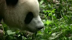 Panda bear walking by Stock Footage