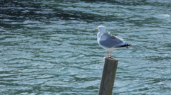 Seagull on a Wooden Mooring Pole - 25FPS PAL Stock Footage