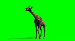 Giraffe looks around - green screen Stock Footage