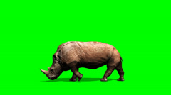 Rhino walks - green screen Stock Footage