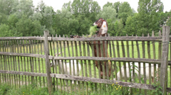 Anglo-Nubian goat on a farm of the Fond'roy park. Stock Footage