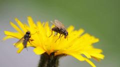 Flies on flower Stock Footage