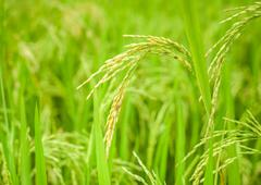 Rice crop growing on plantation. agriculture background of fields and meadows Stock Photos