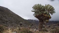 Kilimanjaro Giant Plant Stock Footage